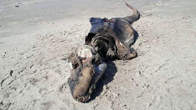 لاشه یک موجود دریایی مرموز در ساحل ولز پیدا شد (+عکس)