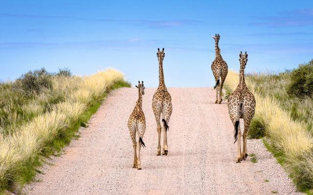راه رفتن زرافهها در جاده (عکس)