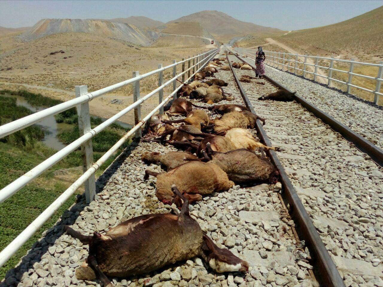 برخورد قطار کرمانشاه مشهد با گله گوسفندان (عکس)