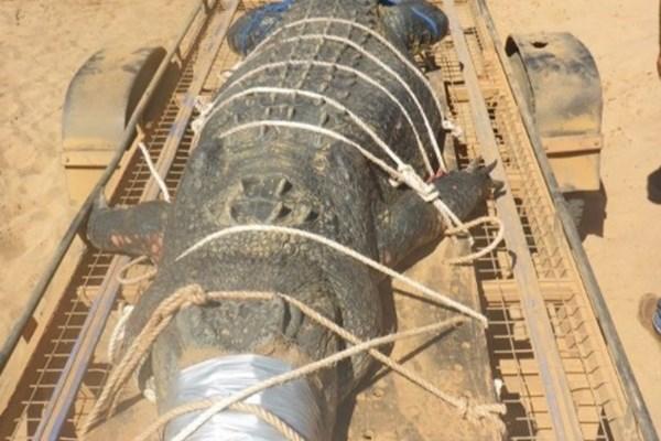 به دام انداختن کروکودیل 4.71 متری (+عکس)