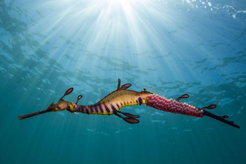اژدهای دریایی (عکس)