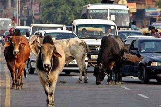 هند: کشتن یک مسلمان بخاطر گاو