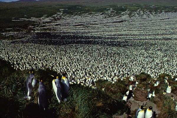 کاهش شدید جمعیت شاه پنگوئن های جهان