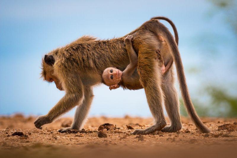 چسبیدن بچه میمون سریلانکایی به مادرش (عکس)
