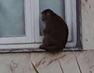 حمله میمون بازیگوش به آرایشگاه زنانه در شمال (+عکس)