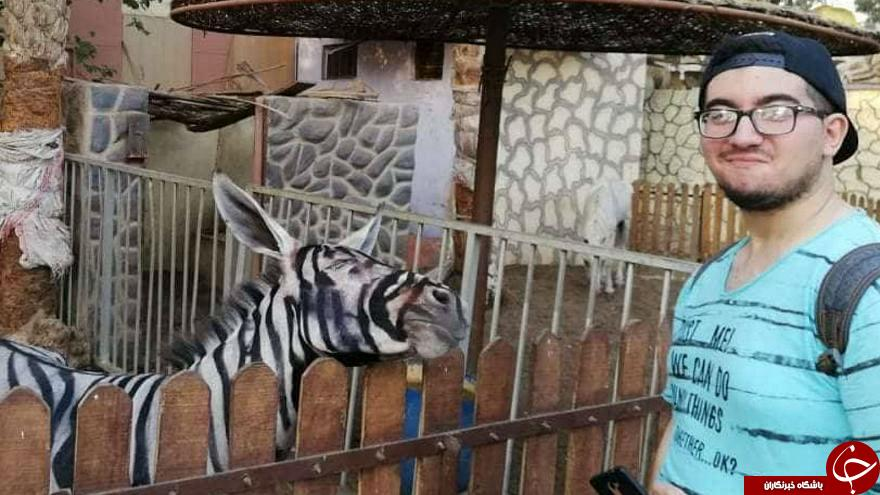 باغ وحش مصری الاغ رنگ شده را گورخر جا زد (+عکس)
