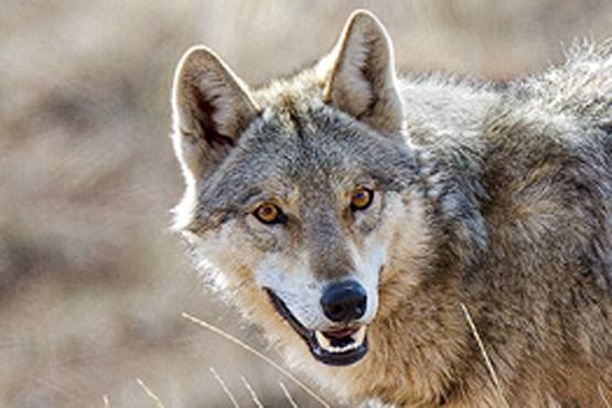 تکرار حمله گرگ به اهالی 2 روستا در قزوین/ محیط زیست قزوین: ما گرگ ها را رها نکرده ایم