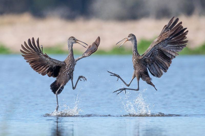 رقص پرندگان روی آب (عکس)