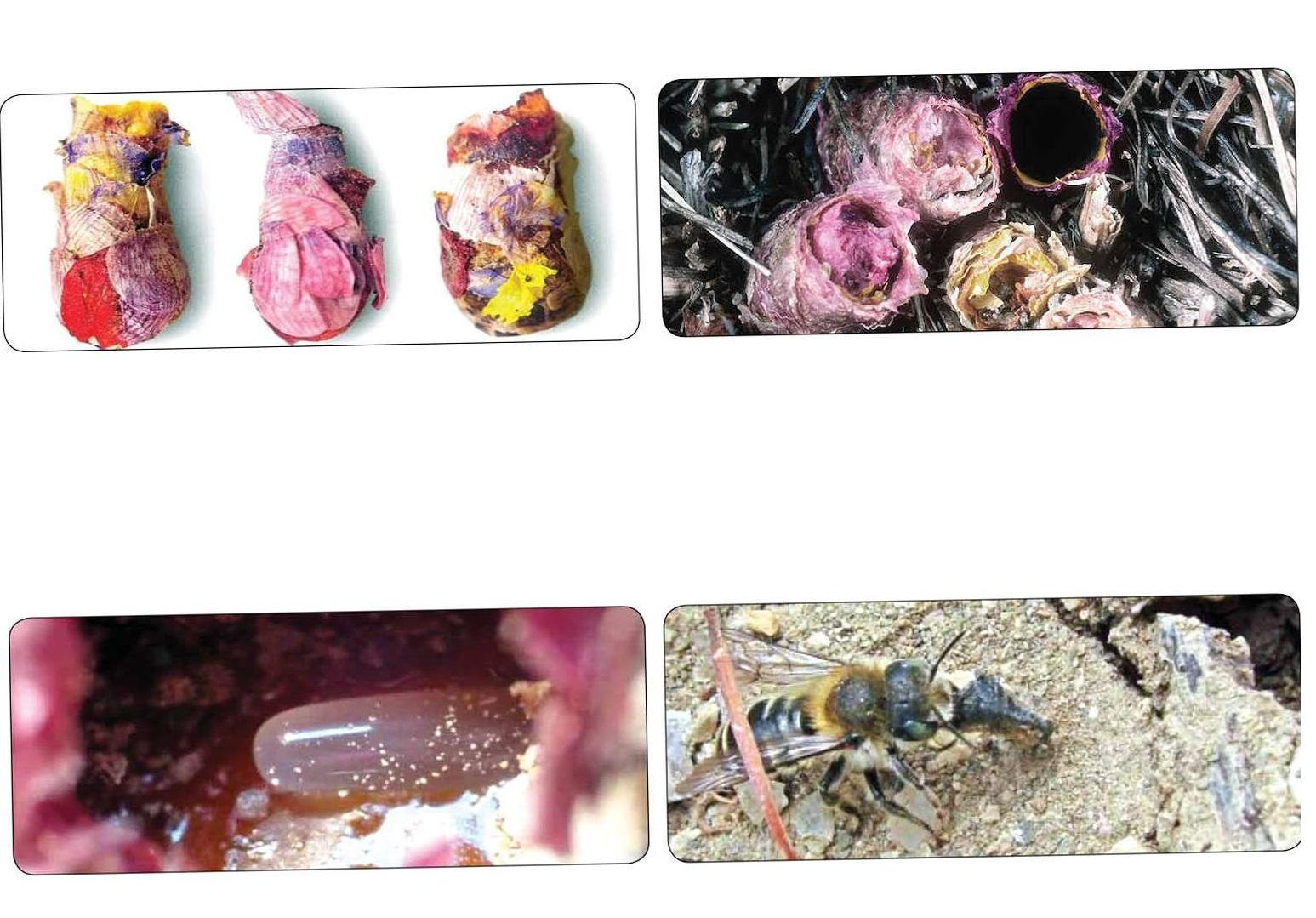 زنبوری که با گلبرگ های رنگارنگ لانه می سازد (+عکس)