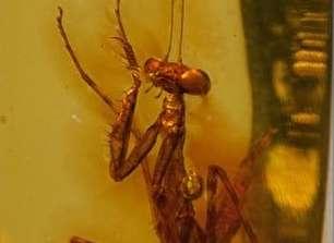 اسارت 12 میلیون سالی یک حشره در کهربا (+عکس)
