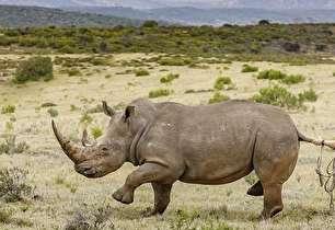 تلاش برای حفاظت از کرگدنها در آفریقا (+عکس)