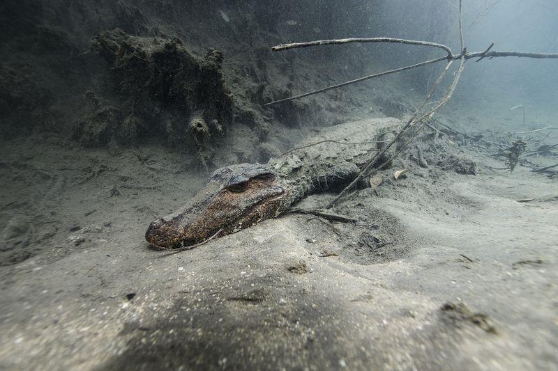 زندگی تمساح کایمن (عکس)