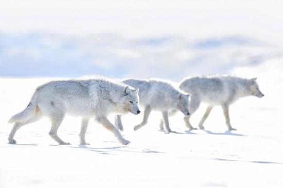 گرگهای سفید در عکس روز نشنال جئوگرافیک (عکس)