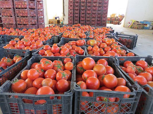 کاهش 1500 تومانی قیمت گوجه فرنگی در بازار