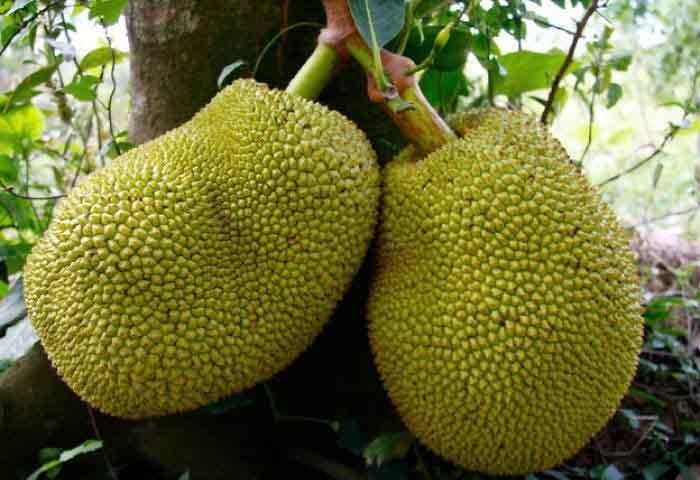 میوه ای که طعم گوشت دارد! (+عکس)