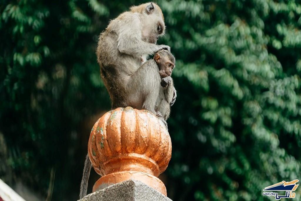 میمون های کوالالامپور