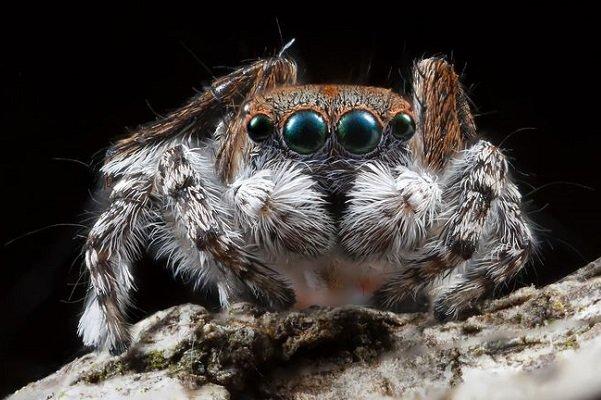عنکبوتی که به نوزادش شیر می دهد! (+عکس)