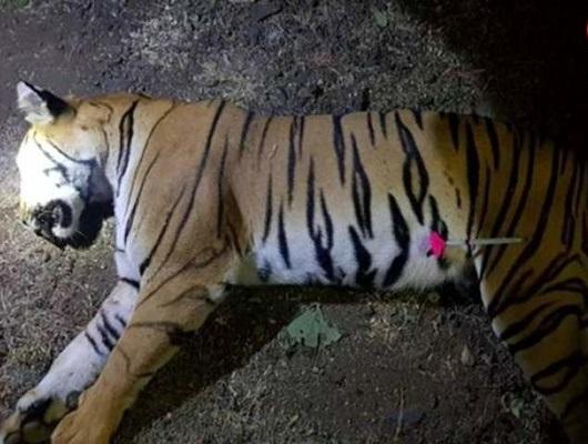 شکار ببر 6 ساله بعد از کشتن 13 نفر (+عکس)