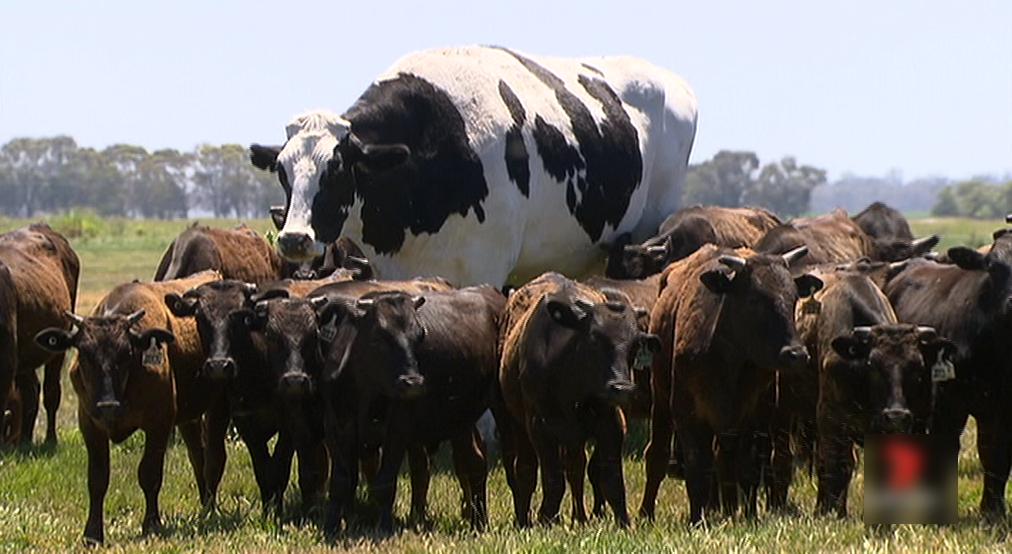 گاو 2 متری در استرالیا که مشتری ندارد! (+عکس)