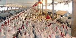 عرضه مرغ منجمد 8900 تومانی