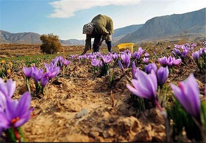 زعفران ایرانی را جدی بگیرید