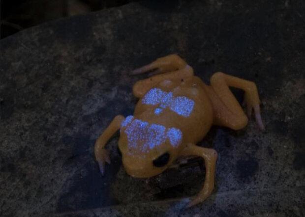 قورباغه برزیلی اسکلت فلورسنت دارد (+عکس)