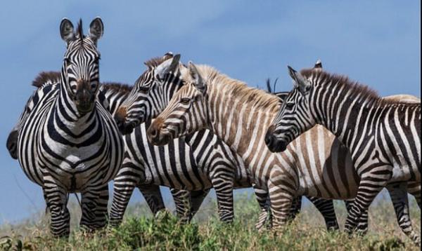 گور خر بلوند در تانزانیا شناسایی شد