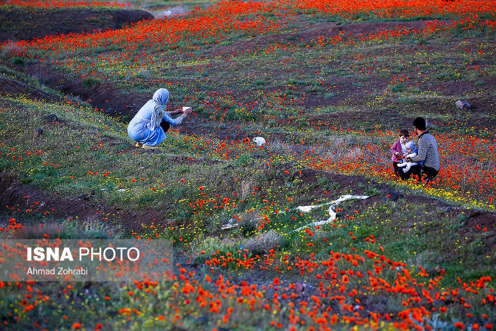 ایران زیباست؛ دشت شقایق وحشی - جاده تهران به قم (عکس)