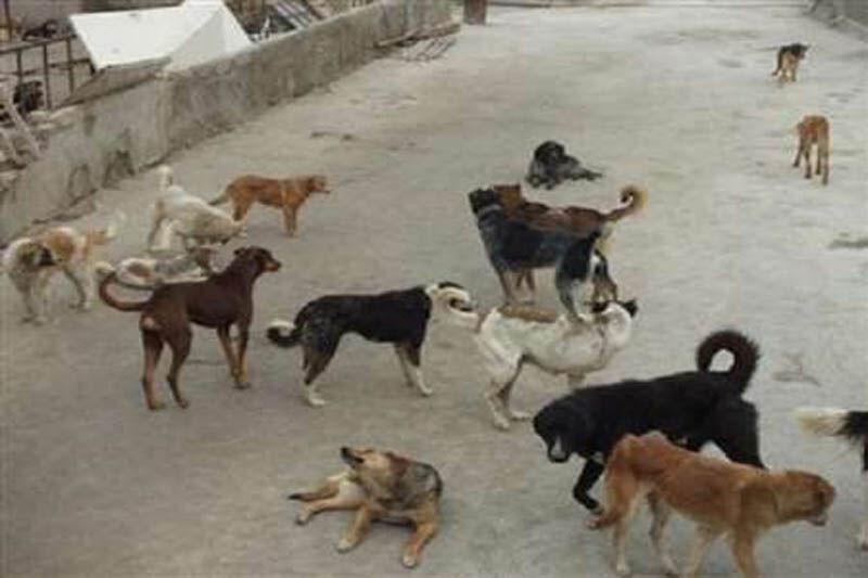 جمع آوری 850 سگ خیابانی در قزوین