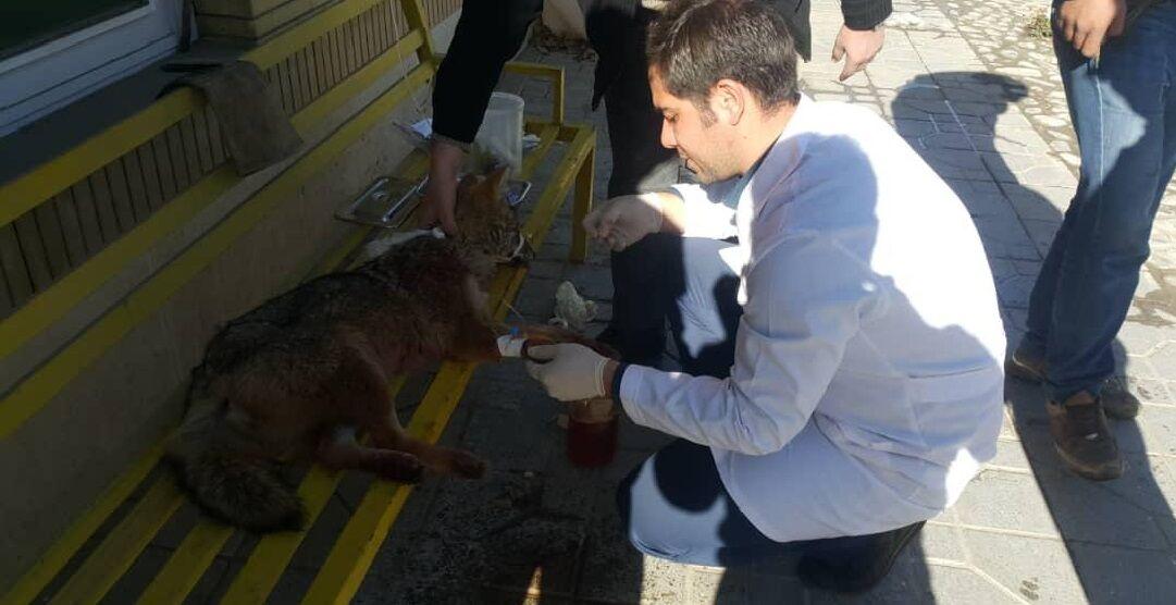 رهاسازی شغال مجروح پس از درمان در همدان (+عکس)