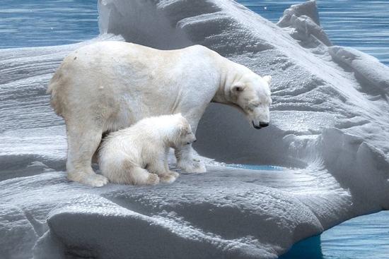خرسهای قطبی
