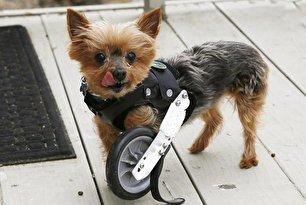 راه رفتن دوباره حیوانات قطع عضو شده (عکس)