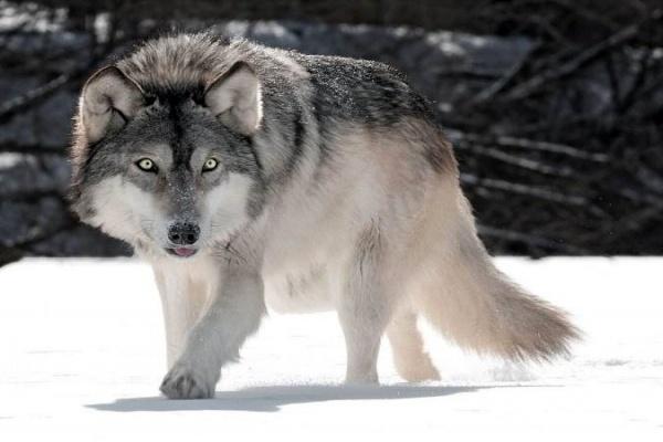 ورود گرگهای گرسنه به شهر زنجان