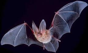 ادامه خوردن خفاش در اندونزی شیوع بیماری کرونا
