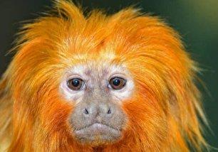 گونه های عجیب میمون ها (عکس)