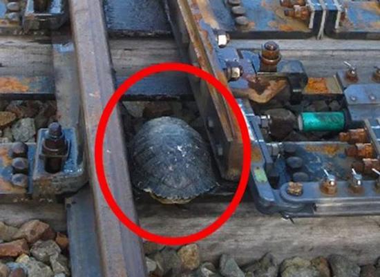 عبور لاکپشتها از ریل قطار