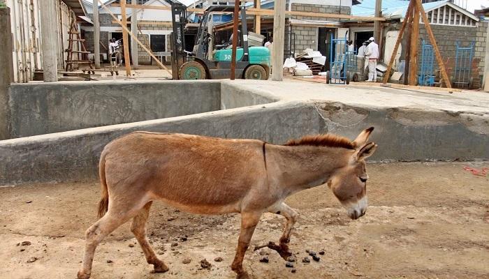 کشتار الاغها در چین به خاطر ماده