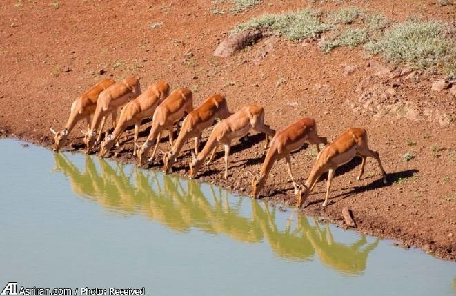 ایمپالا؛ رکورددار پرش طول در حیوانات