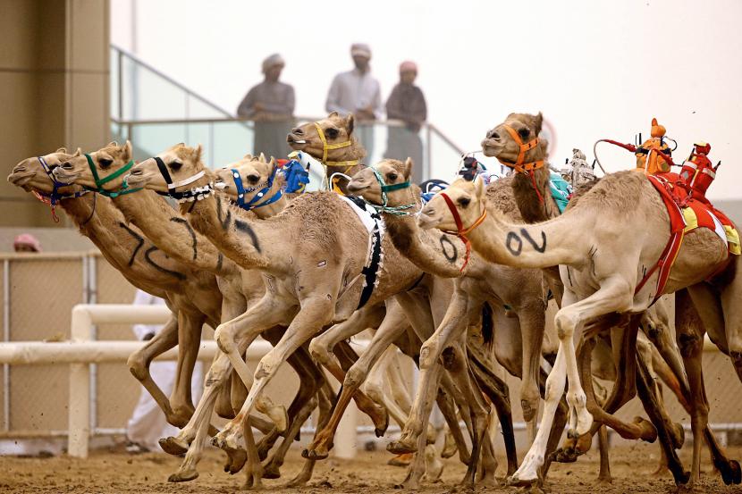مسابقات شتردوانی؛ یادگار فرهنگ صحرانشینی در دبی