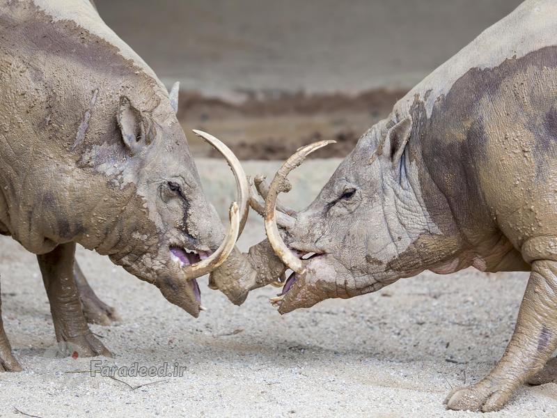 حیوانات ماقبل تاریخی که هنوز زندهاند (+عکس)