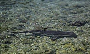 کوسههای بیخطر در سواحل کیش (عکس)