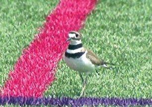 تعطیلی یک ورزشگاه به دلیل تخم گذاری یک پرنده! (+عکس)