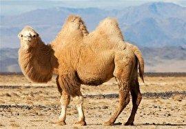 ایجاد صنعت شتر در کشور/ 10 هزار نفر شتر از قطر وارد میشود