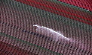 مزارع گل لاله در هلند (عکس)
