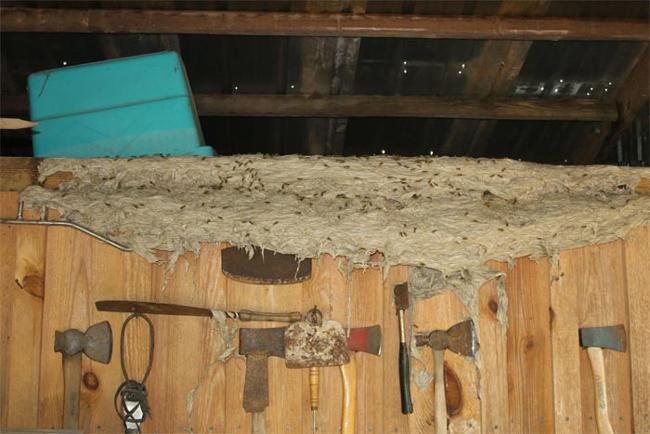 لانههای ترسناک و عظیمالجثه زنبورها (+عکس)