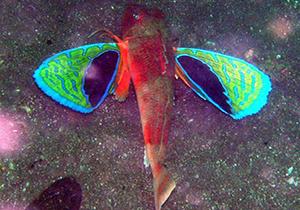 ماهی منحصربه فردی که بالهایی شبیه به پروانه دارد (عکس)