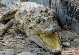 تمساح دست دختربچه 10ساله سیستانی را قطع کرد