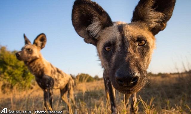 سگ وحشی آفریقایی و عجیب ترین روش برای رای گیری!(+تصاویر و فیلم)
