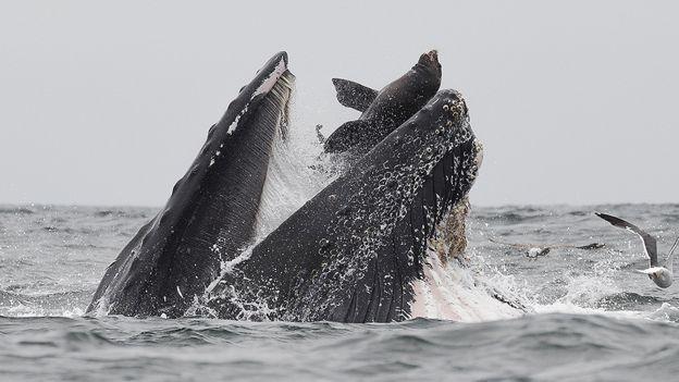 تصویری که شاید یکبار در زندگی ببینید: نهنگی که یک شیر دریایی را 'میبلعد'(+عکس)