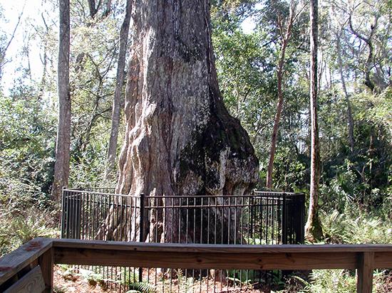 کهنسالترین درختان روی زمین (+عکس)